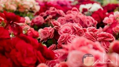 صورة حلوة لمجموعة ورود حمراء وبيضاء جميلة جدا في حديقة ورود
