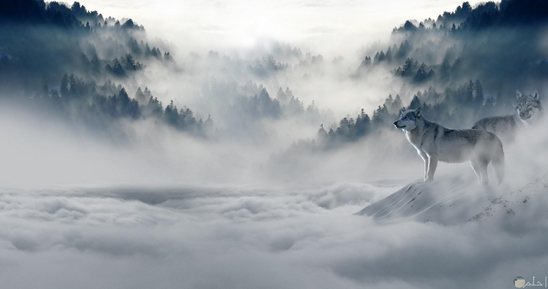 صورة ذئبان واقفان في غابة مليئة بالثلوج