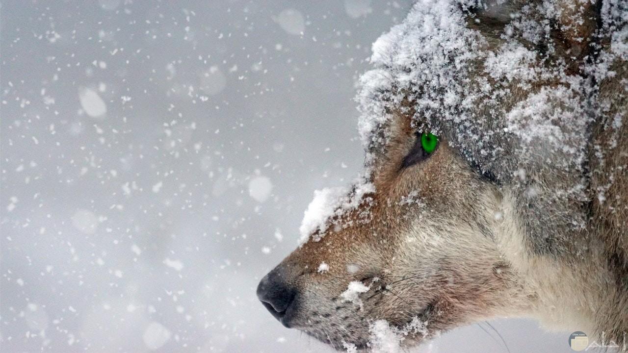 صورة ذيب مميزة أثناء تساقط الثلوج مع عيون خضراء حلوة