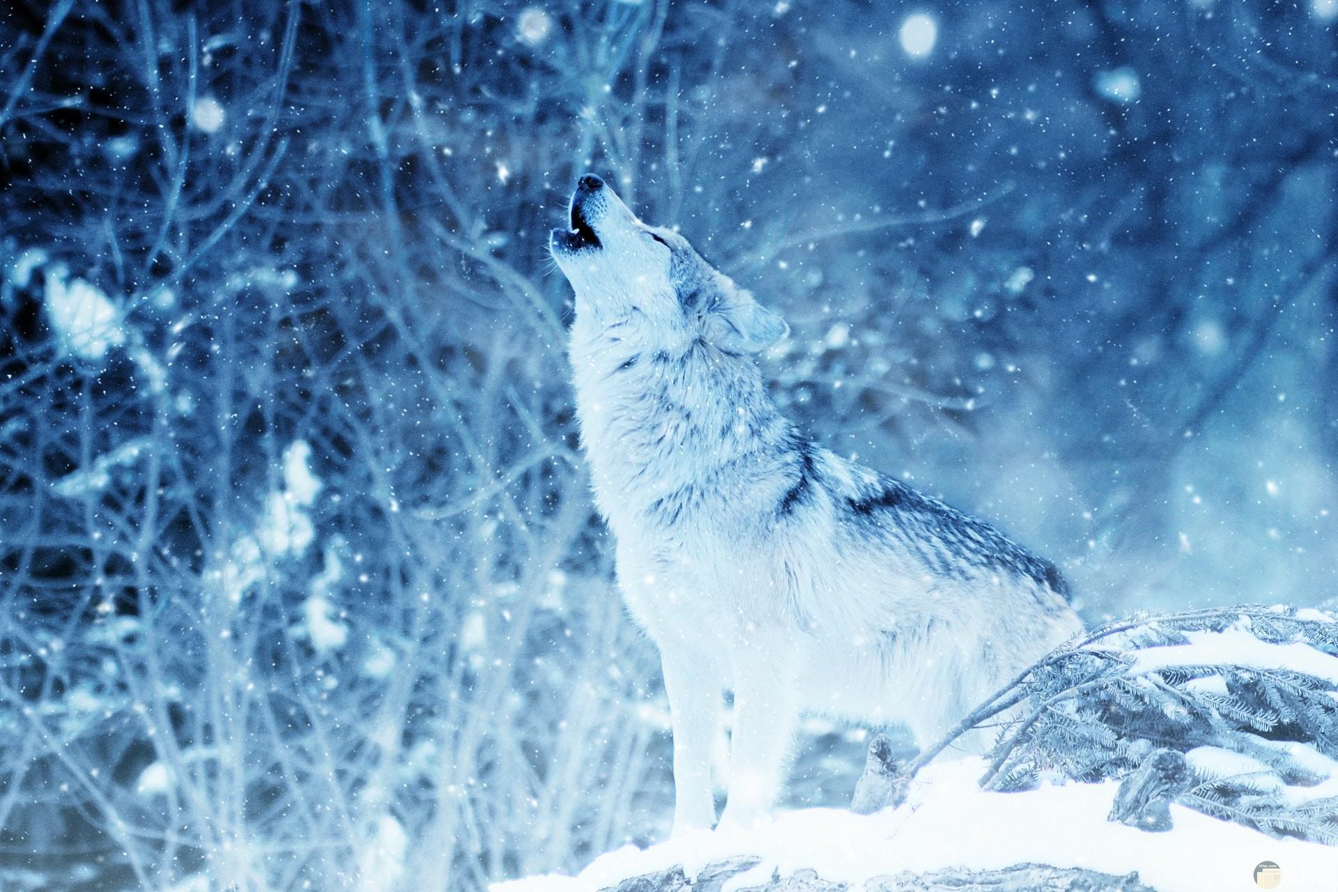 صورة ذيب مميزة تغطيه الثلوج البيضاء في غابة تتساقط الثلوج فيها