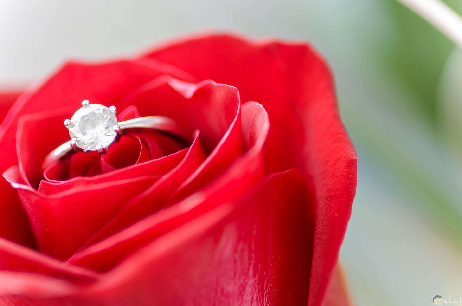 صورة رومانسية جميلة لوردة حمراء حلوة بها خاتم روعة