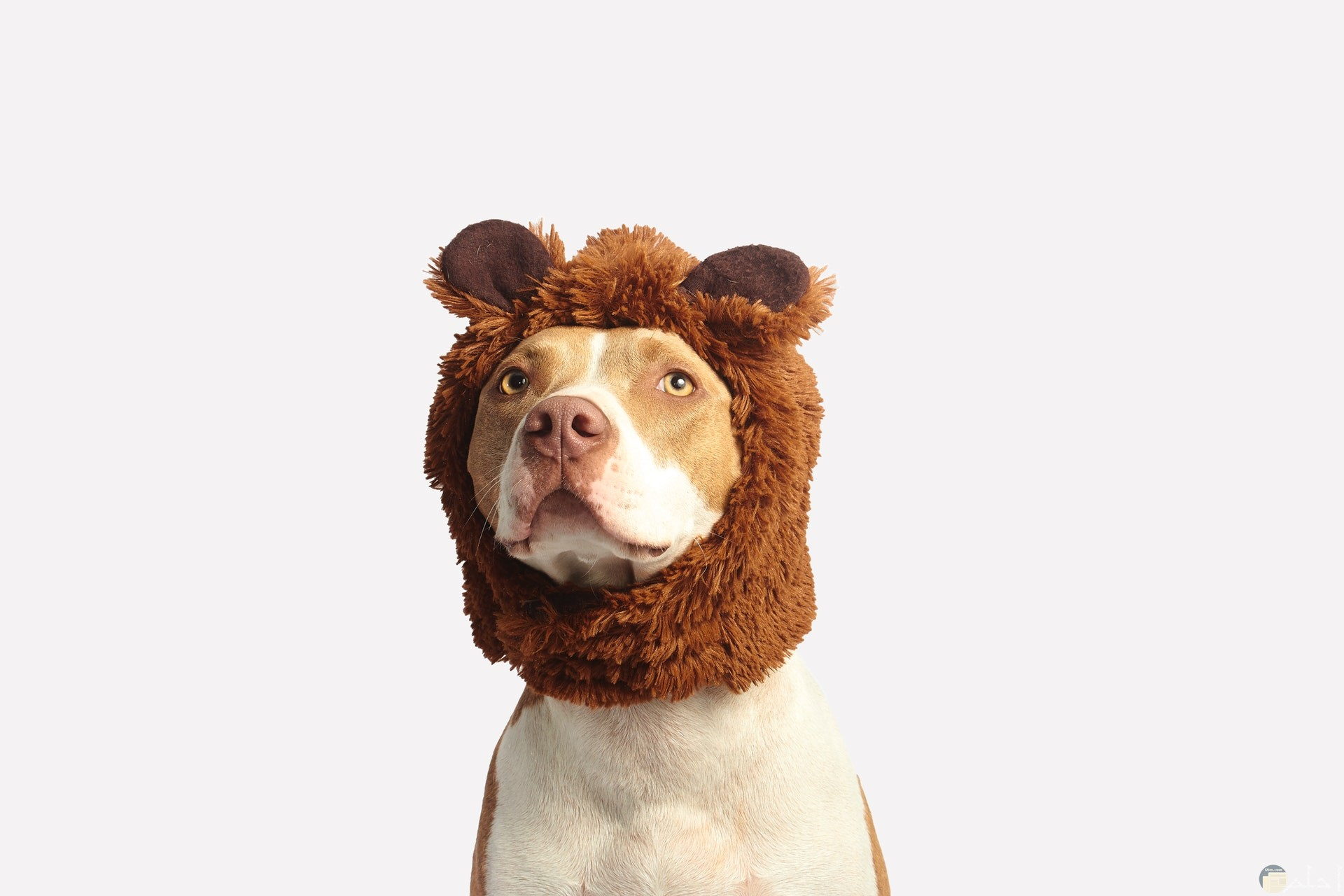 صورة غريبة مضحكة لكلب لابس قبعة بنيه علي رأسه