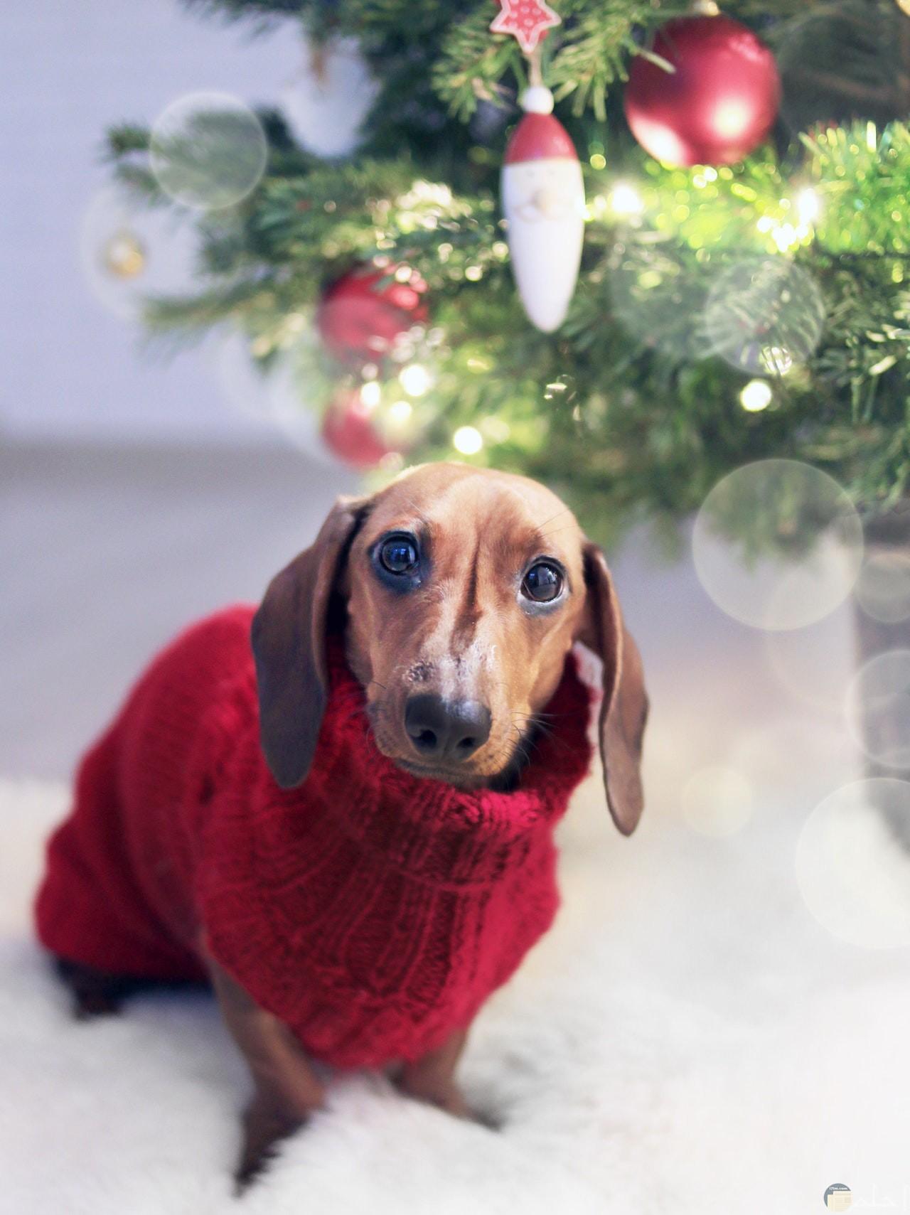 صورة غريبة ومضحكة لكلب لابس سترة حمراء حلوة