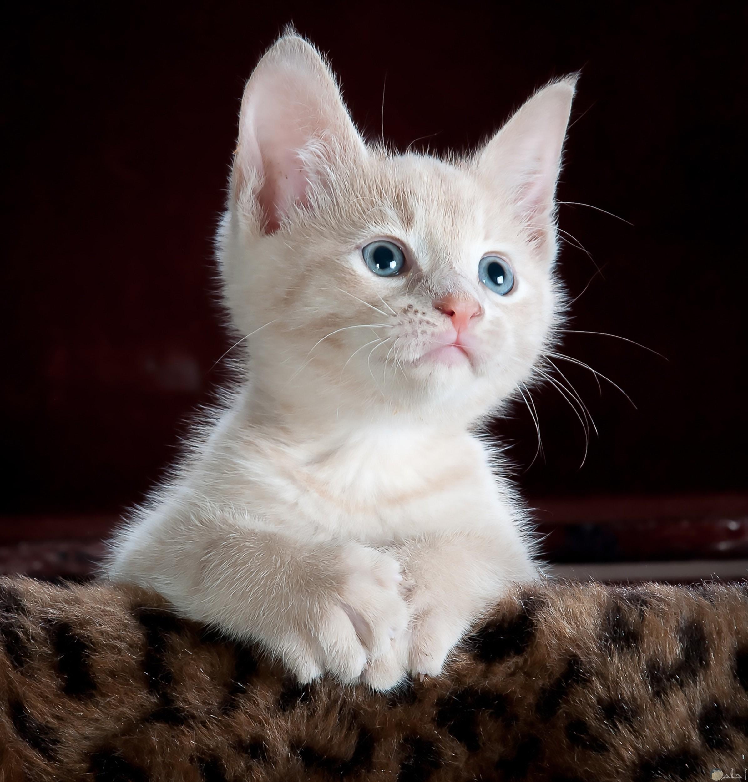 صورة قط أبيض حلوة بعيون زرقاء جميلة جدا