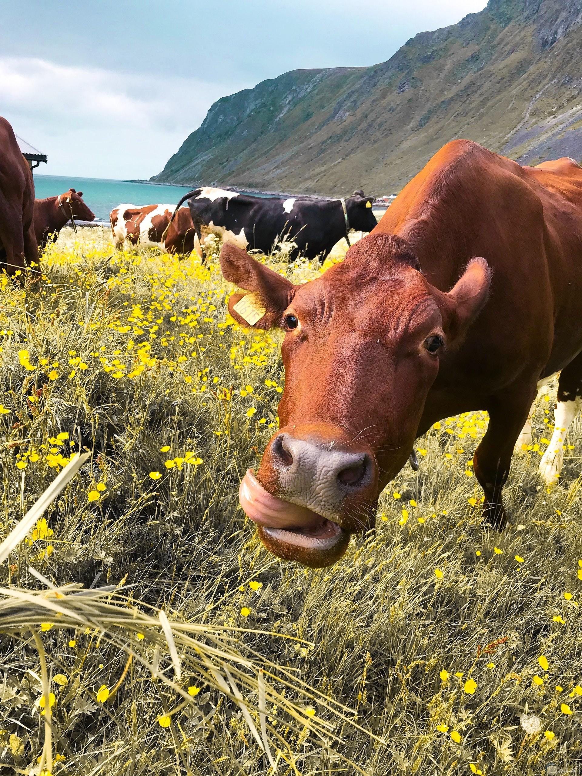 صورة كوميدية لبقرة مضحكة جدا مع تعابير وجهها