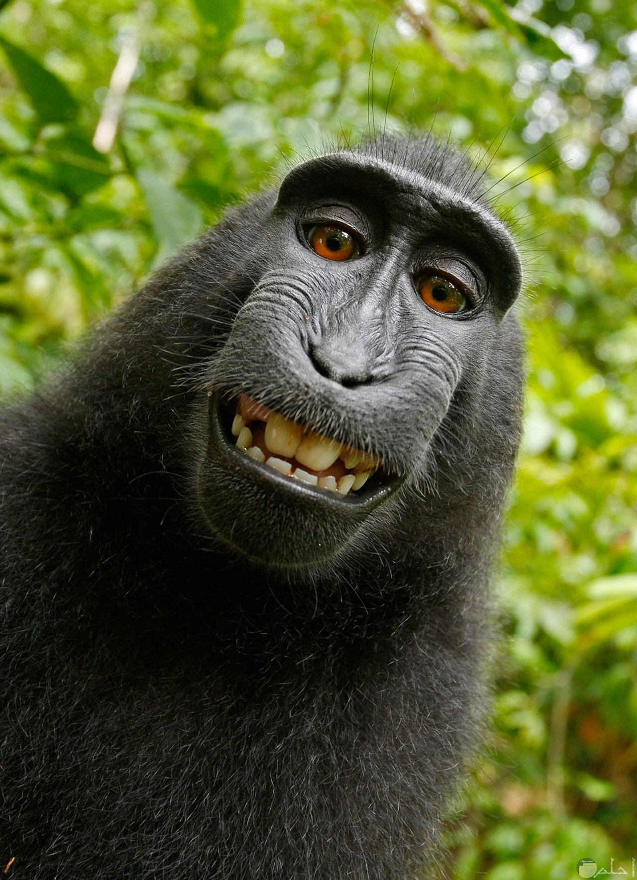 صورة كوميدية لقرد شامبانزي بضحكة جميلة ومميزة