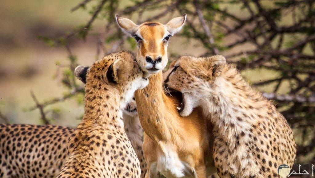 صورة لا تصدق غزاله وسط اثنين من النمور