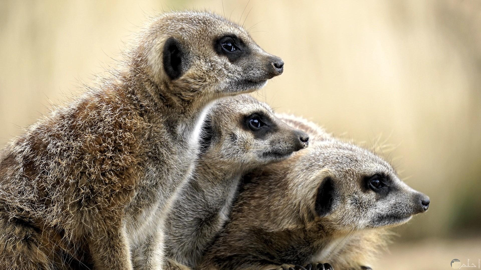 صورة لحيوانات تراقب شيء ما في ترقب ومتراصة بجانب بعضها بشكل مضحك