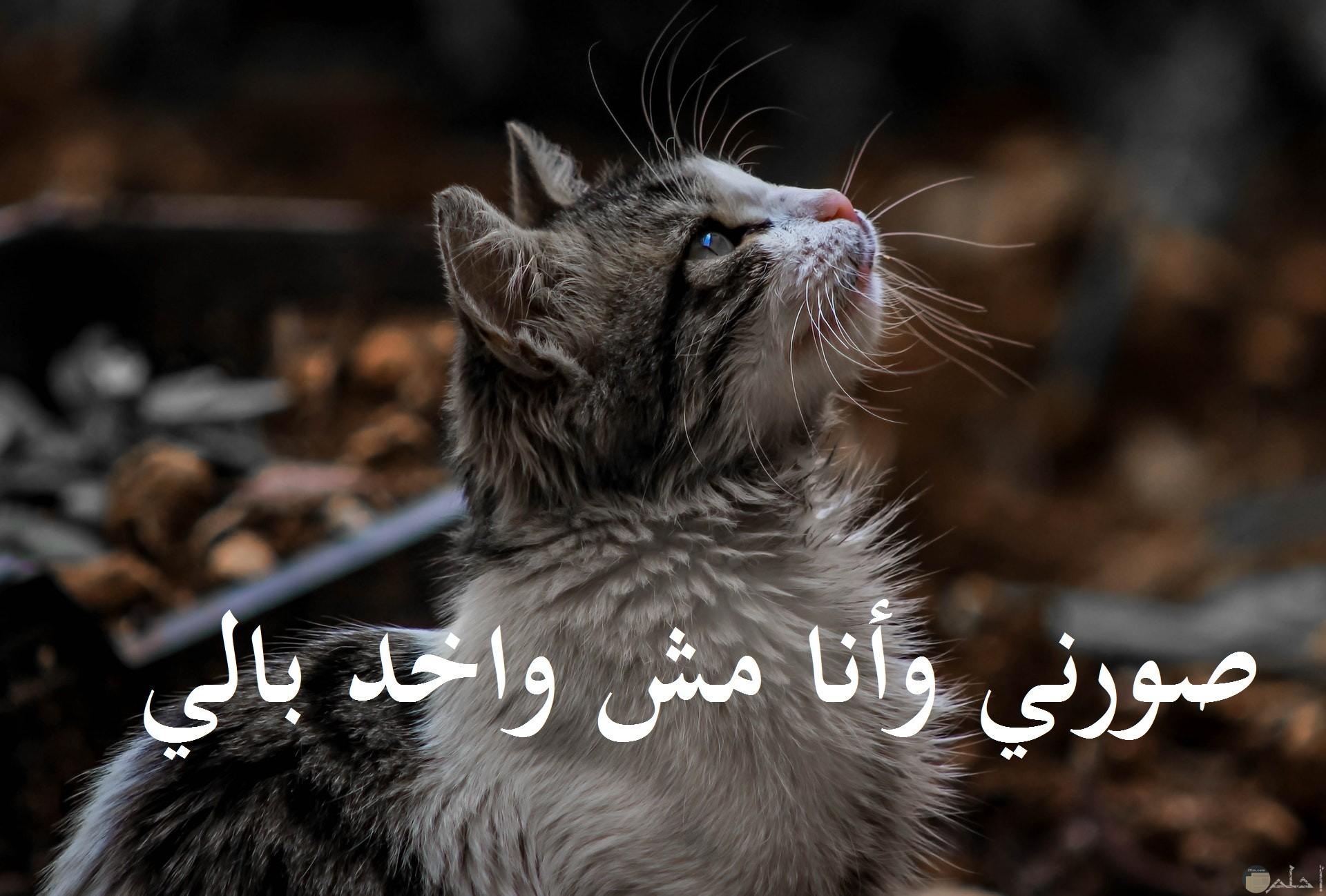 صورة مضحكة جدا لقط يتصور وهو مش واخد باله