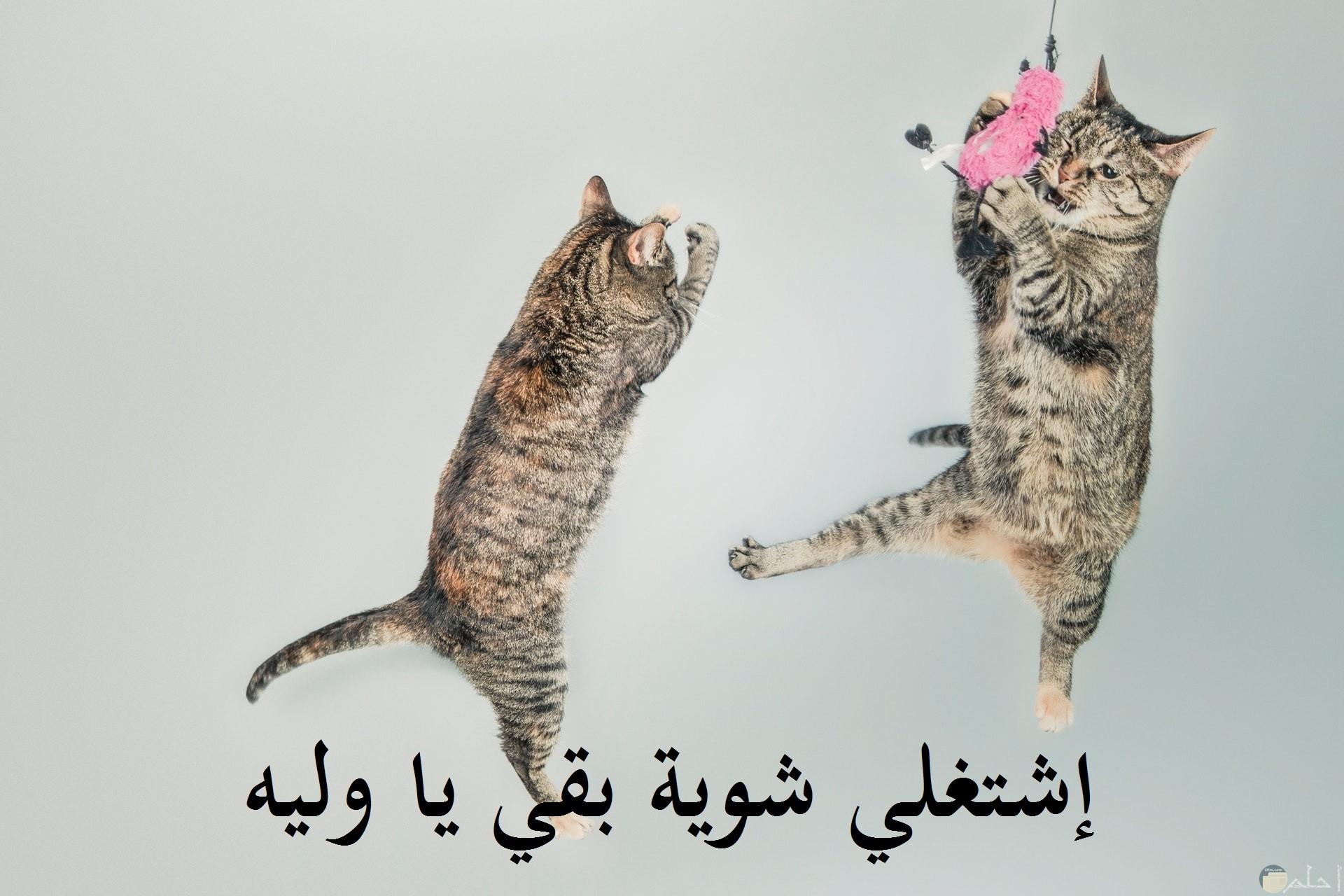 صورة مضحكة للبسس فيها قطتين تقول واحدة للأخري إشتغلي شوية يا وليه