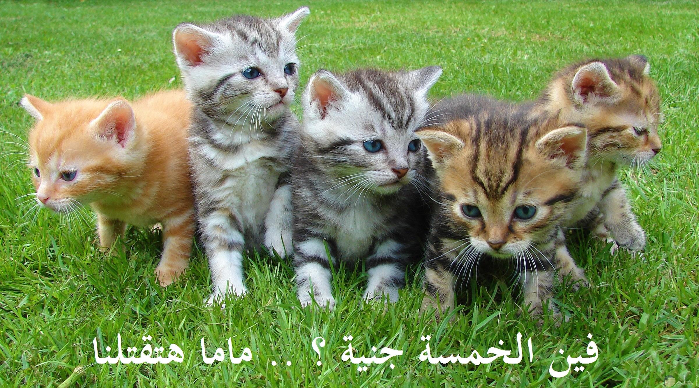 صورة مضحكة لمجموعة من القطط تقوم بالبحث عن النقود حتي لا توبخهم والدتهم