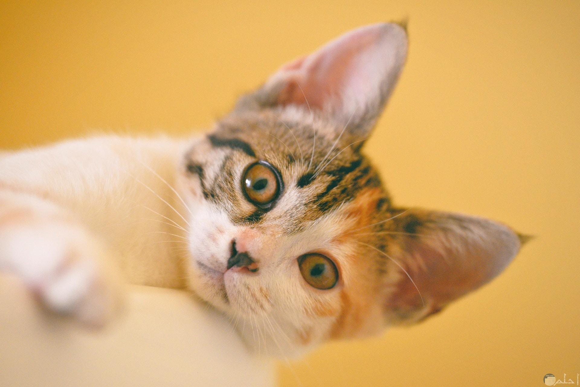 صورة مضحكة وحلوة لقط بتعابير وجه تضحك
