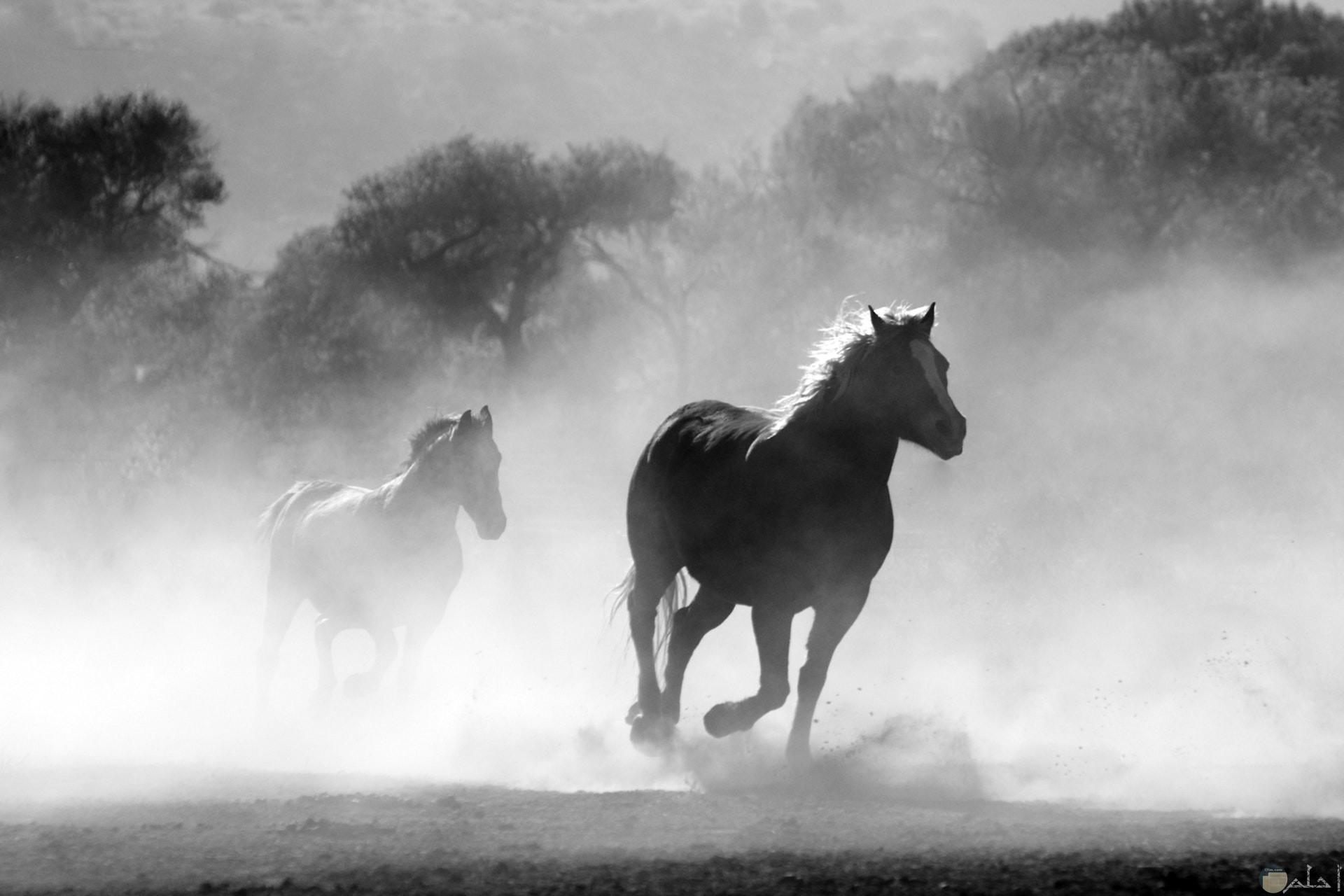 صورة مميزة أبيض وأسود للتصميم لحصانين يجريان في الغابة
