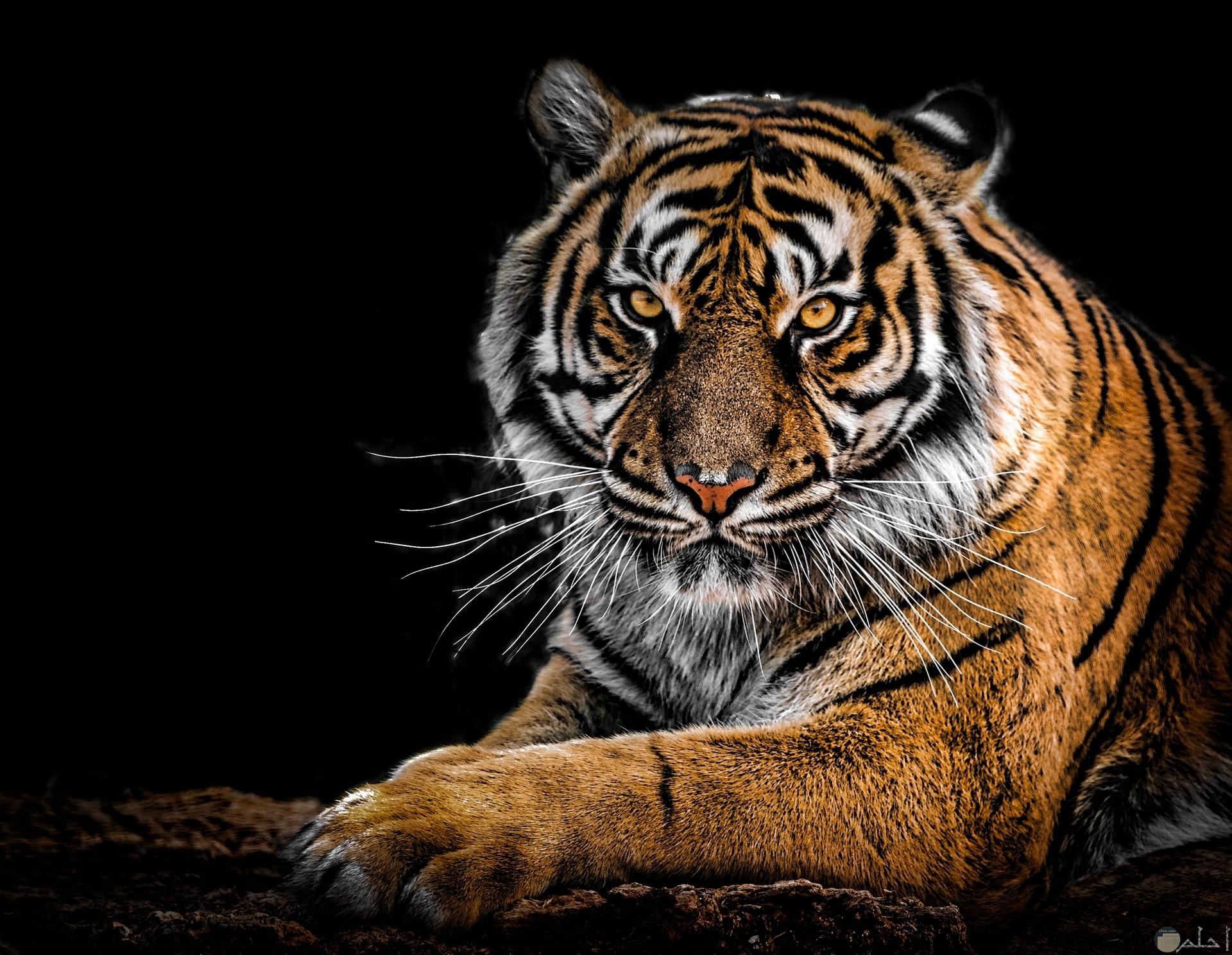 صورة مميزة لحيوان النمر بنظرة قوية منه وقاسية