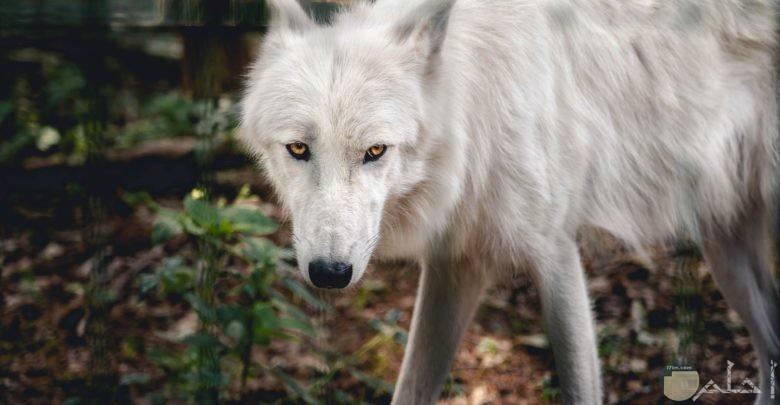 صورة مميزة لذيب في الغابة باللوني الأبيض والأسود وذو نظرات قوية