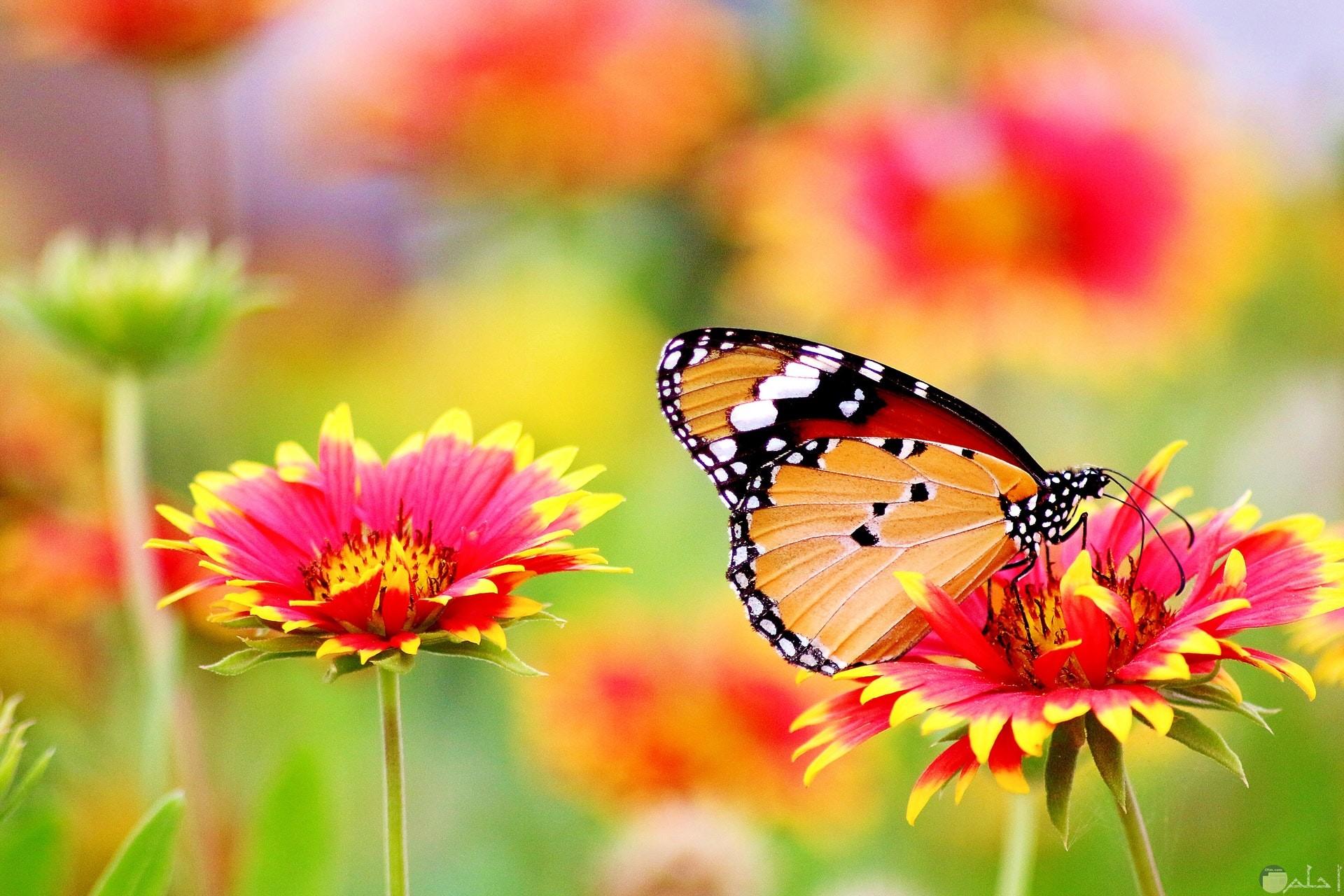 صورة مميزة للفيس بوك لفراشة حلوة واقفة علي وردة جميلة