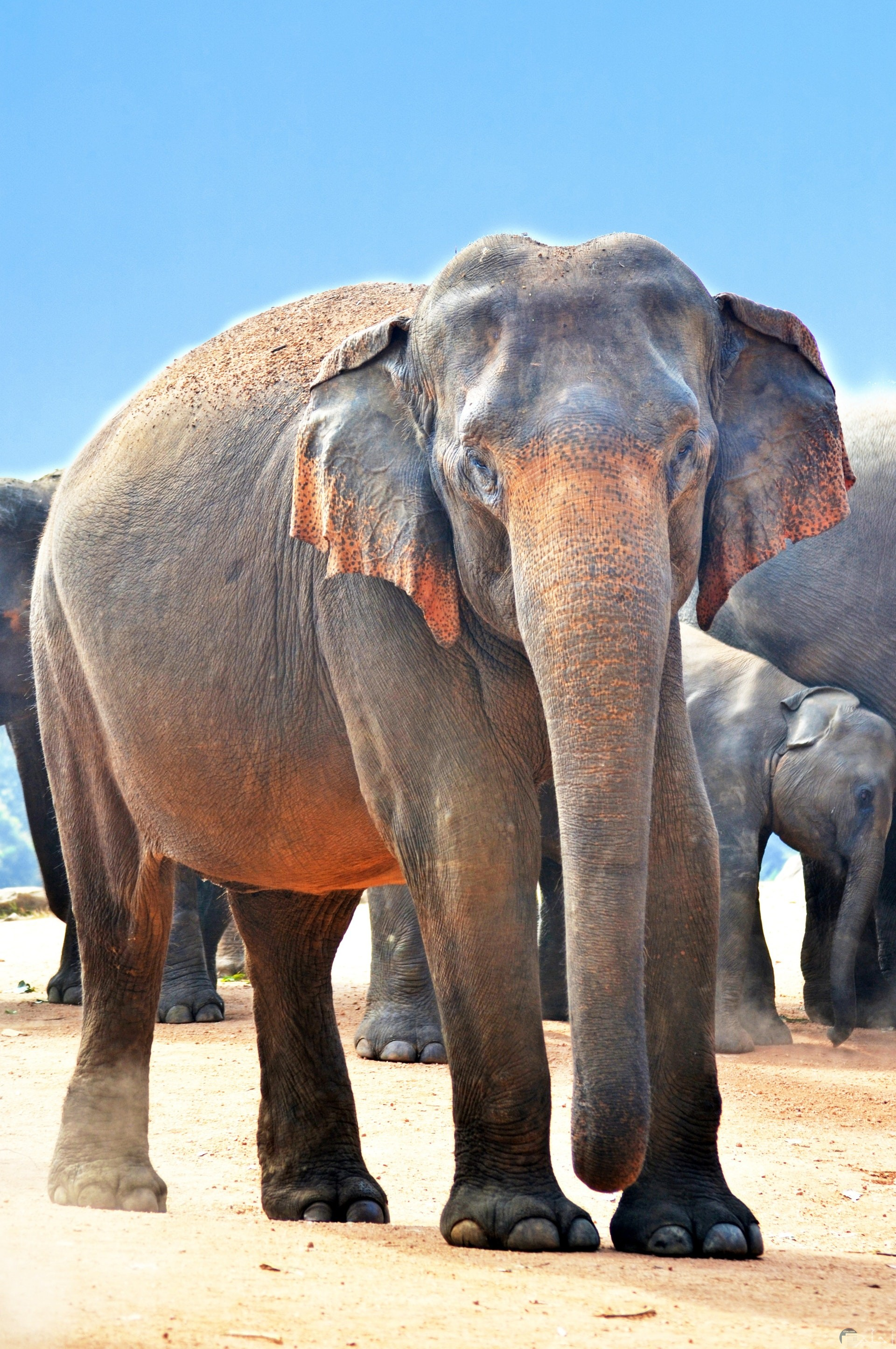 صورة مميزة لمجموعة من الفيلة مجتمعين معا جميلة جدا