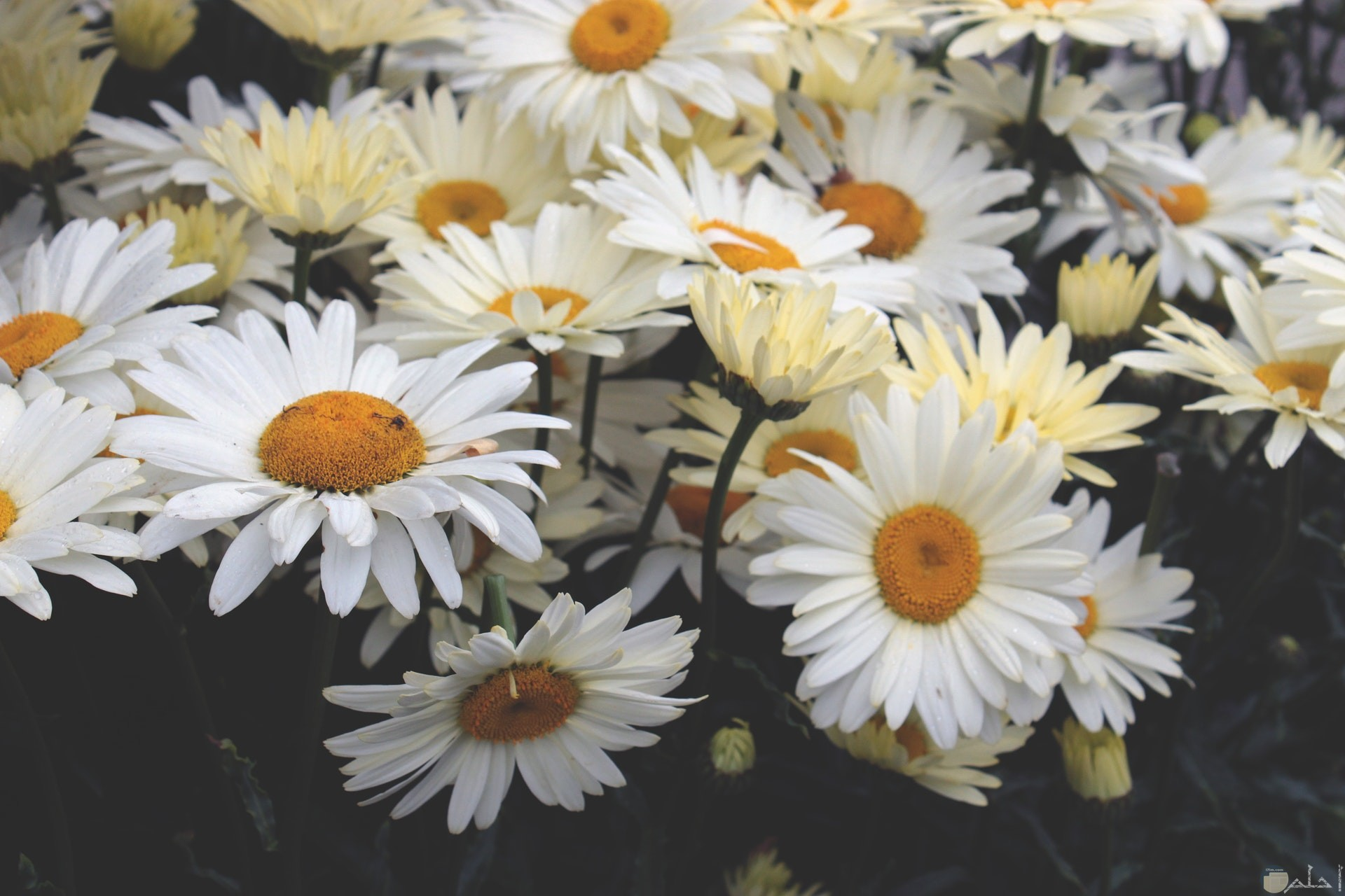 صورة مميزة لمجموعة من الورود البيضاء الجميلة بالحديقة