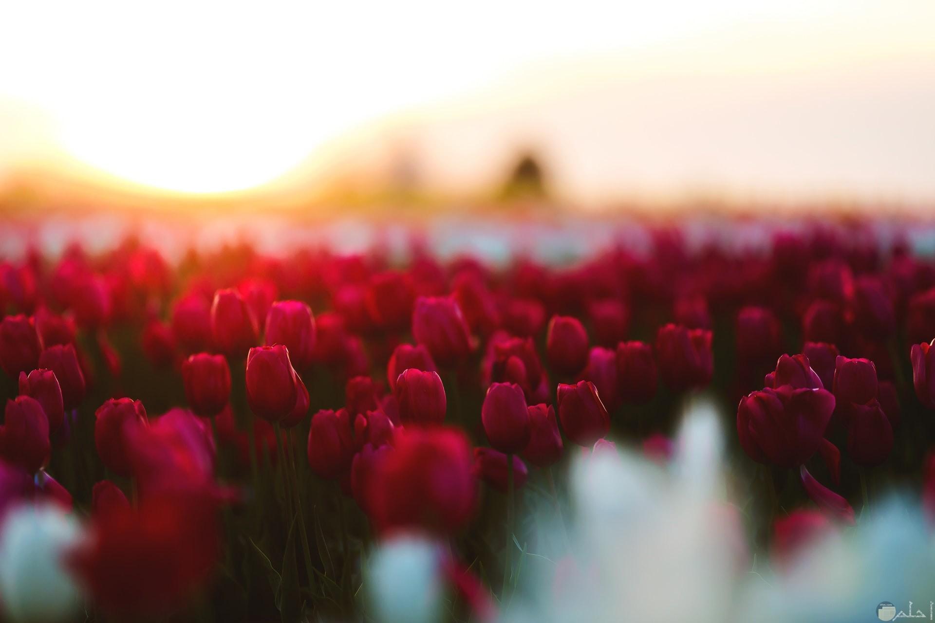 صورة مميزة لمجموعة وردات حمراء جميلة في حديقة ورد