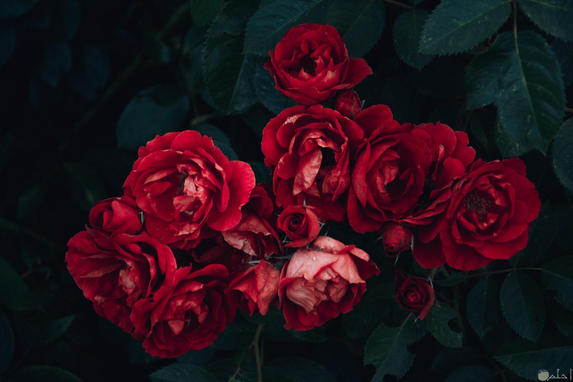 صورة مميزة لمجموعة ورود حمراء حلوة وجميلة جدا
