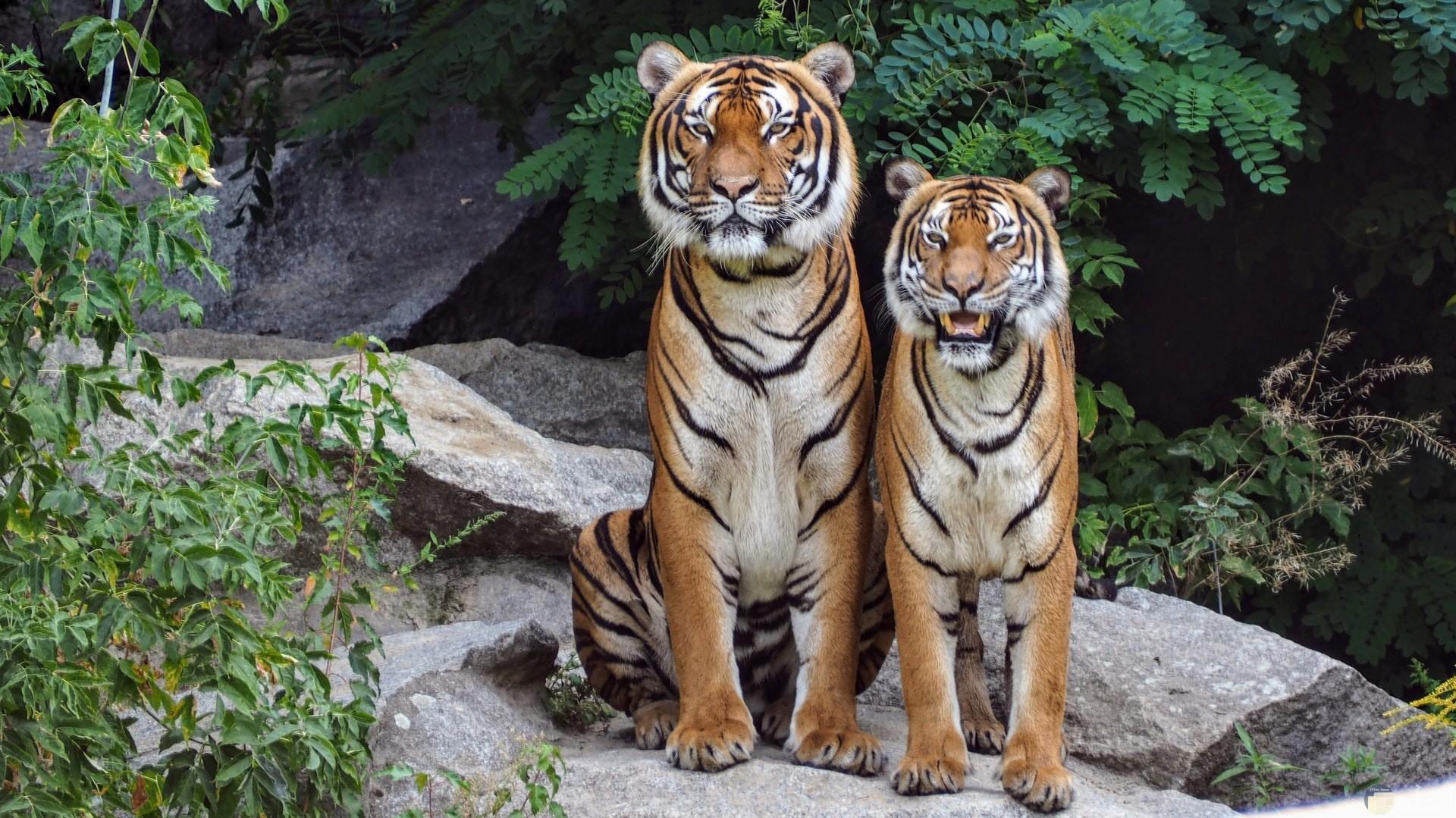صورة مميزة لنمرين بجانب بعض واقفين في الغابة