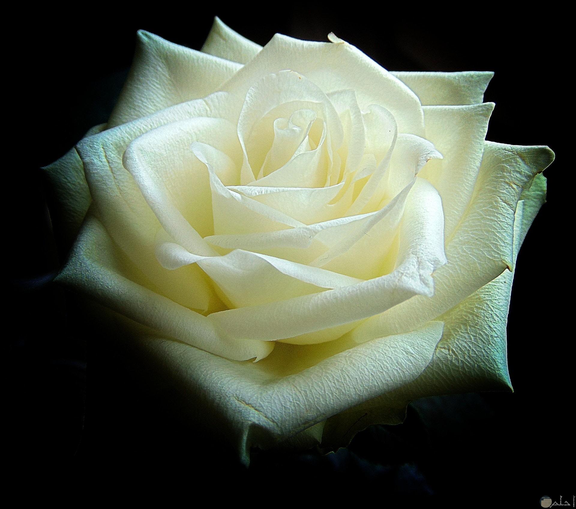 صورة مميزة لوردة بيضاء جميلة مع خلفية سوداء