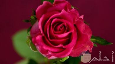 صورة مميزة لوردة حمراء جميلة جدا وحلوة