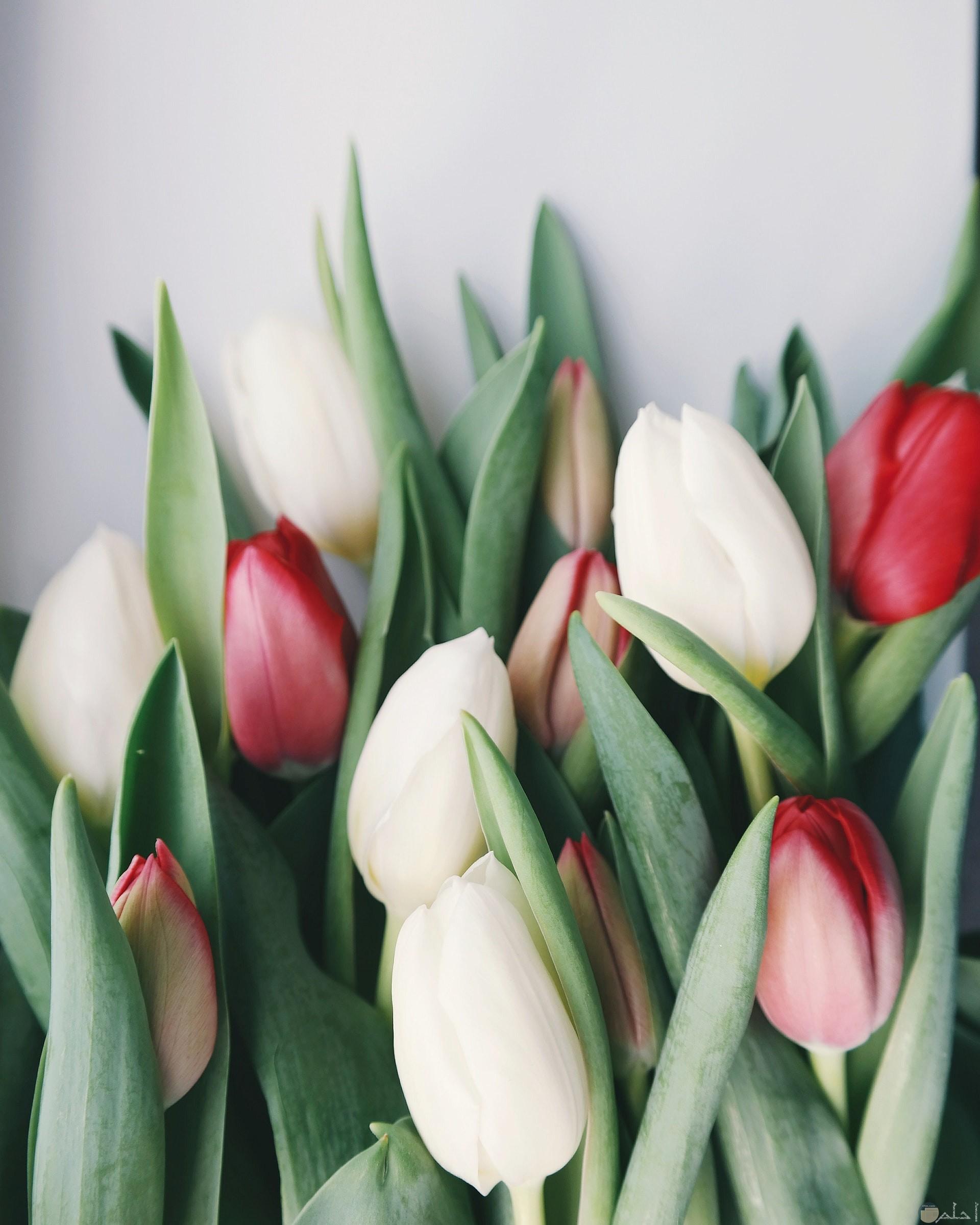 صورة مميزة لورد أبيض وأحمر جميل مغلق