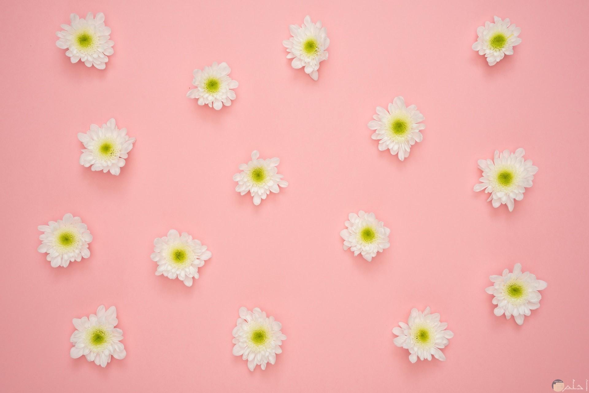 صورة مميزة موجود فيها ورود بيضاء مع خلفية باللون الوردي جميلة