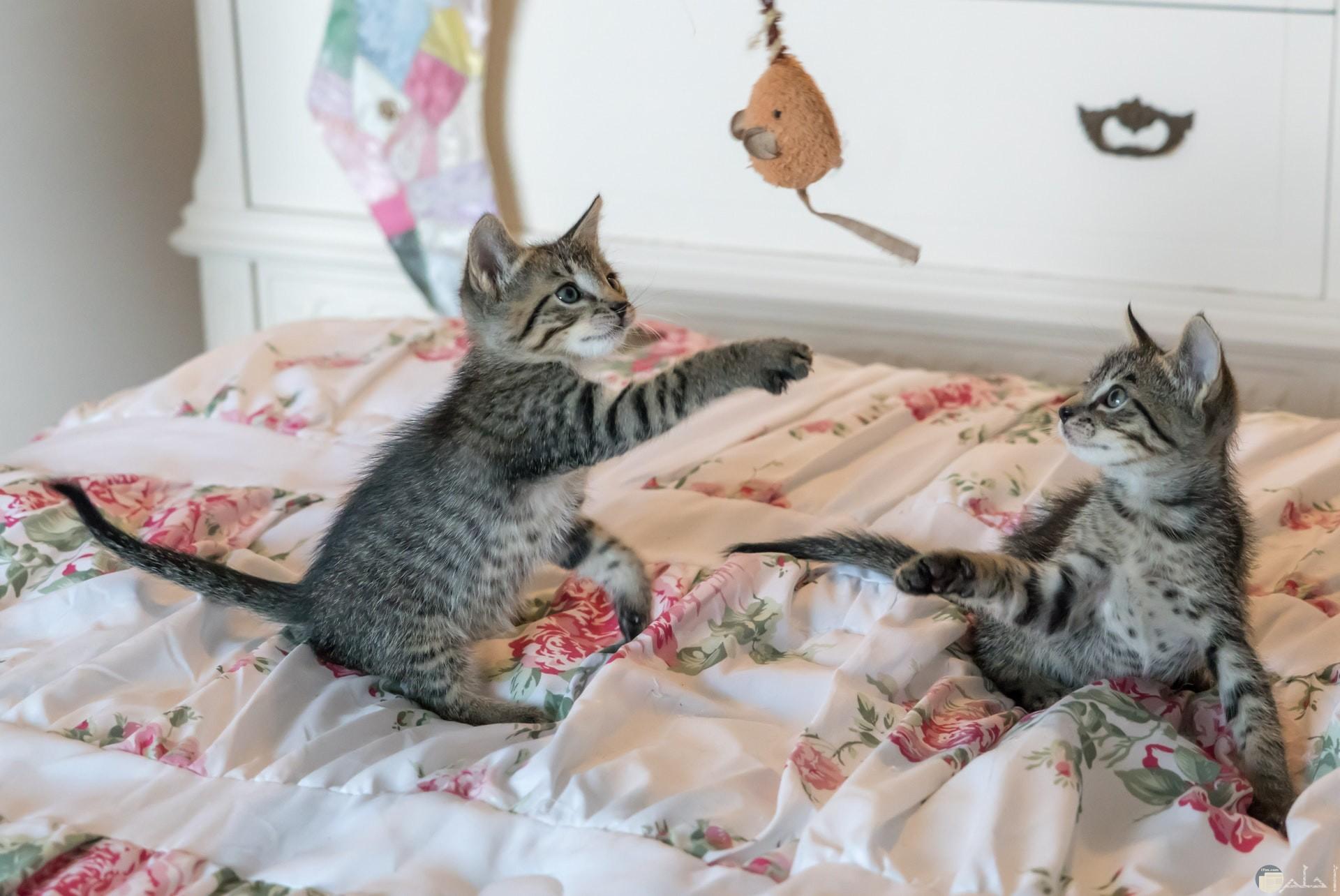 صورة مميزة وحلوة لقطتين تلعبان علي السرير سوياً