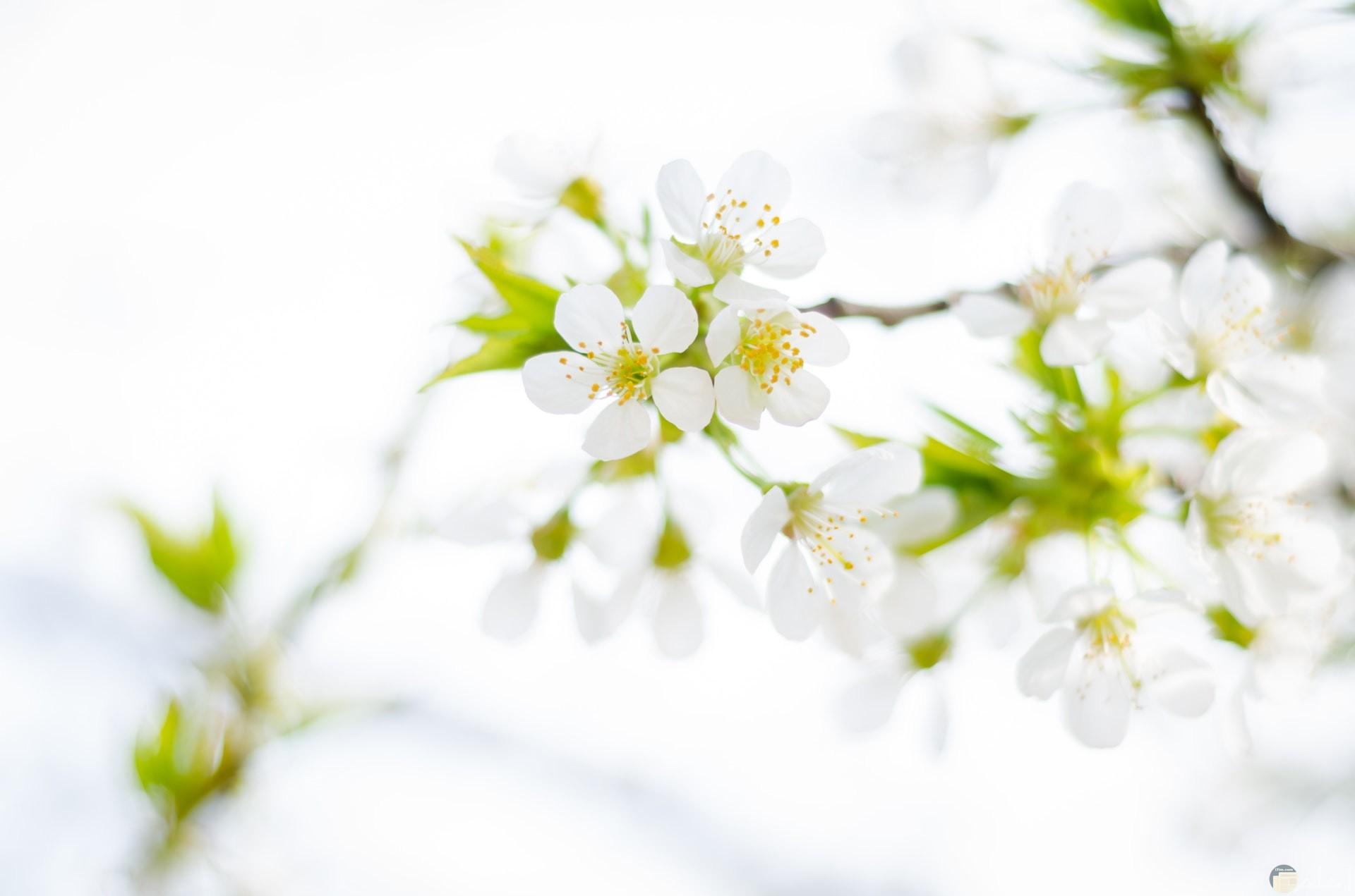 صورة مميزة وحلوة لمجموعة من الوردات البيضاء الجميلة
