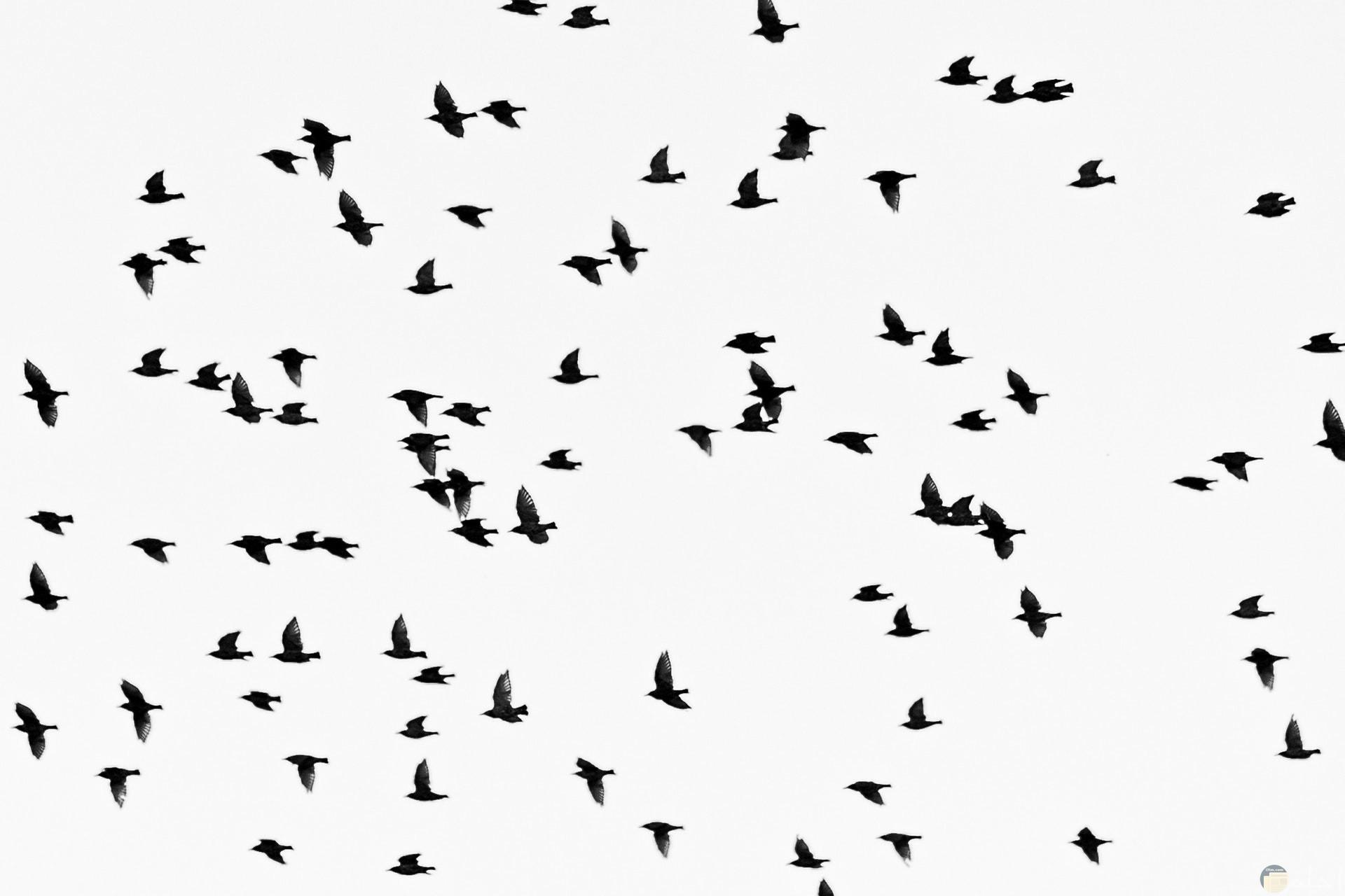 صور أبيض وأسود للتصميم مميزة لطيور تطير مع خلفية بيضاء