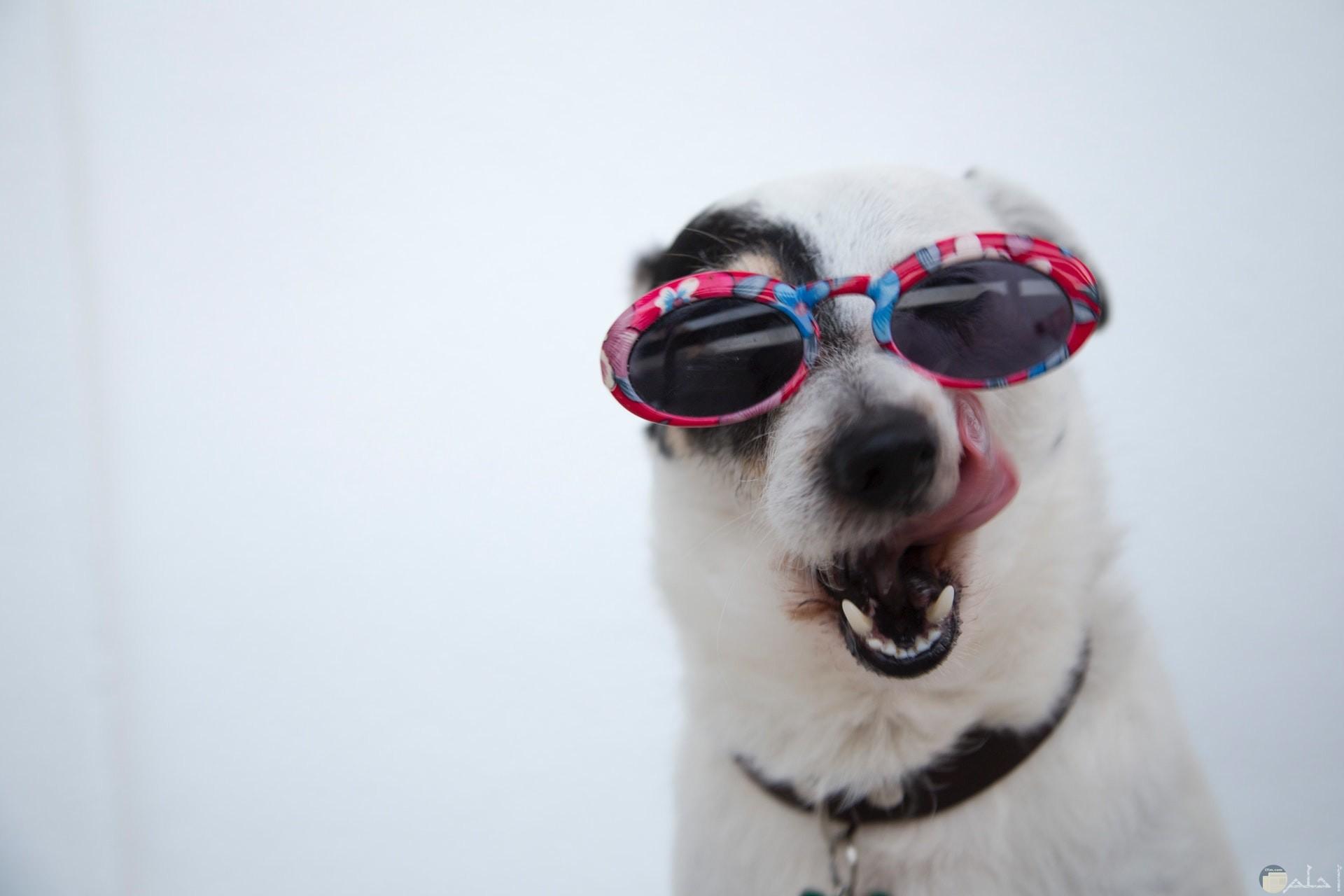 صور كوميدية لكلب مضحك مع نظارة شمسية ملونة