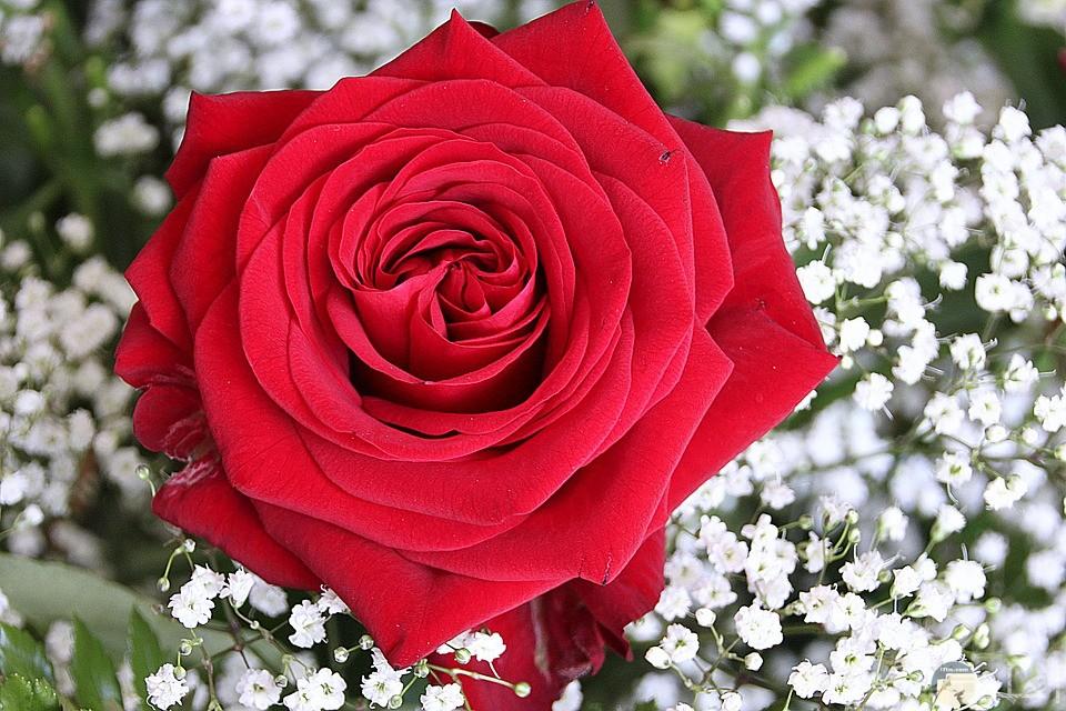 وردة حمراء رائعة