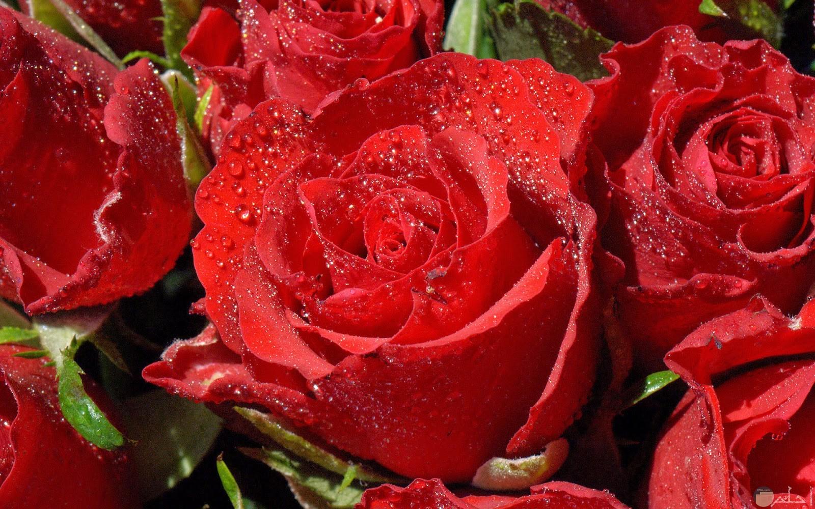 ورد أحمر جميل