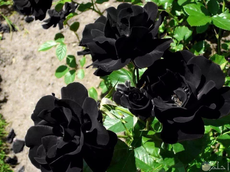 صور الورد الأسود الجذاب
