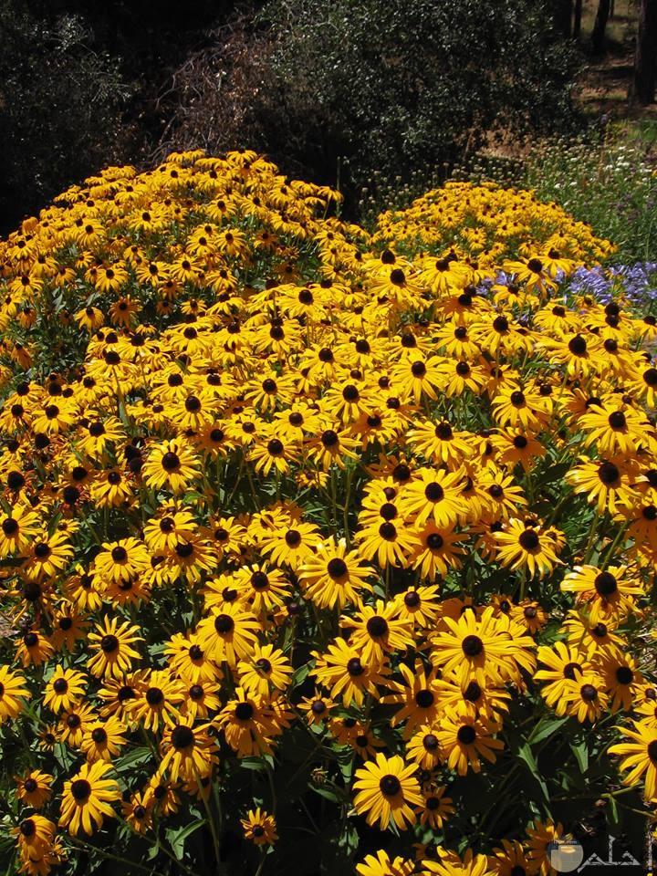 صورة لزهور صفراء اللون جميلة جدا