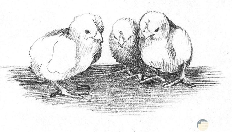 صورة رائعة لثلاث كتاكيت مرسومة بالرصاص