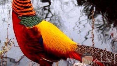 صورلطيور الجنة