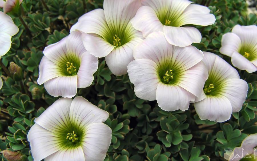زهور بيضاء حول خضره