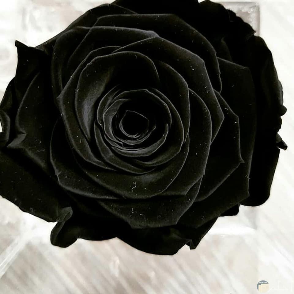 صورة وردة وحيدة سوداء تجنن