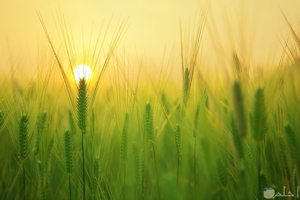 صورة لسنابل القمح والشمس تضيئها