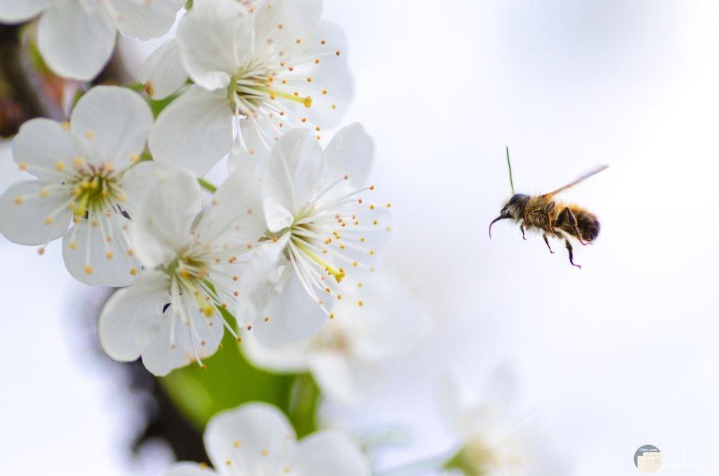النحل مع الزهور البيضاء
