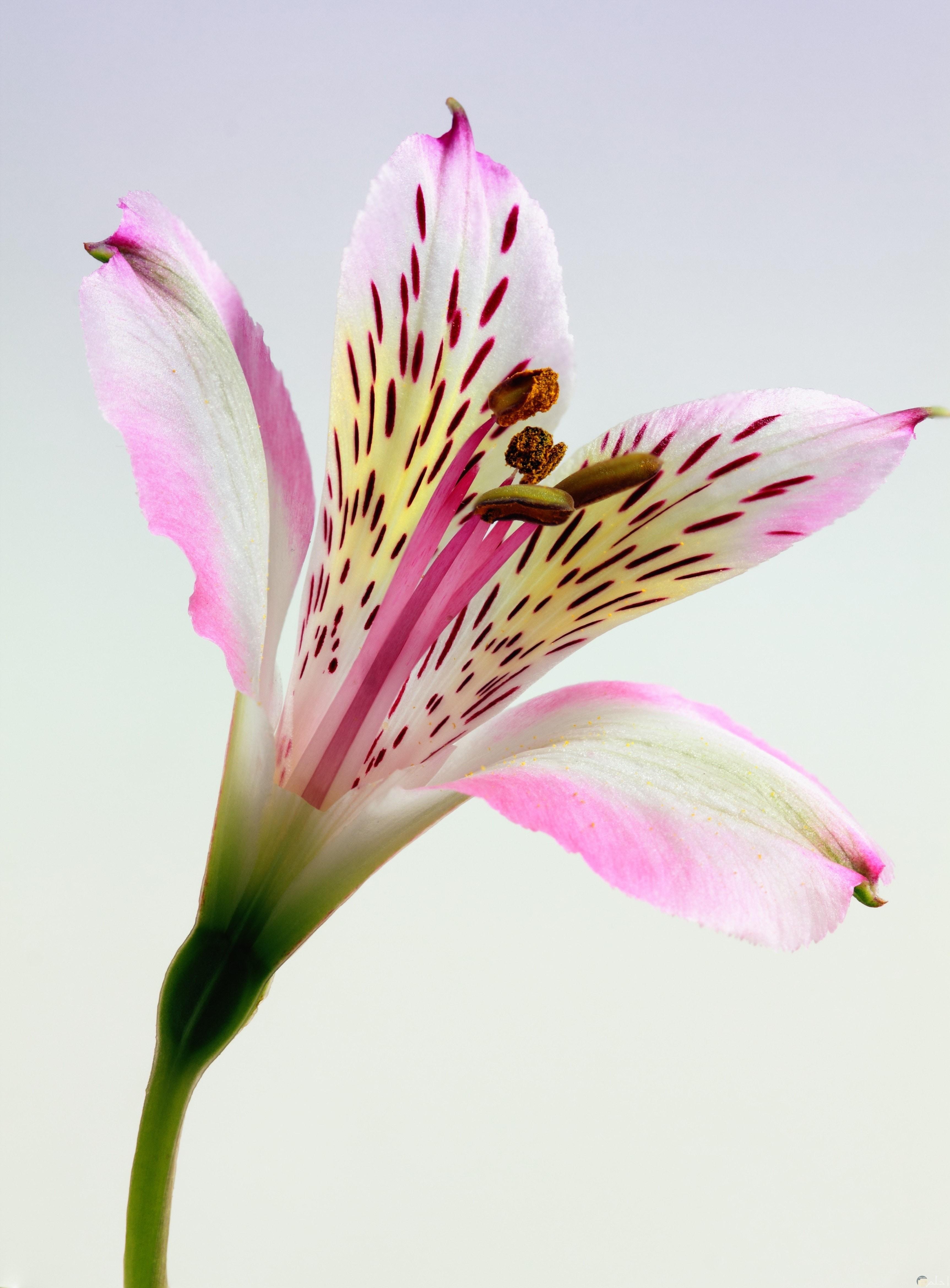 وردة اللوتس الجميلة بألوان متداخلة
