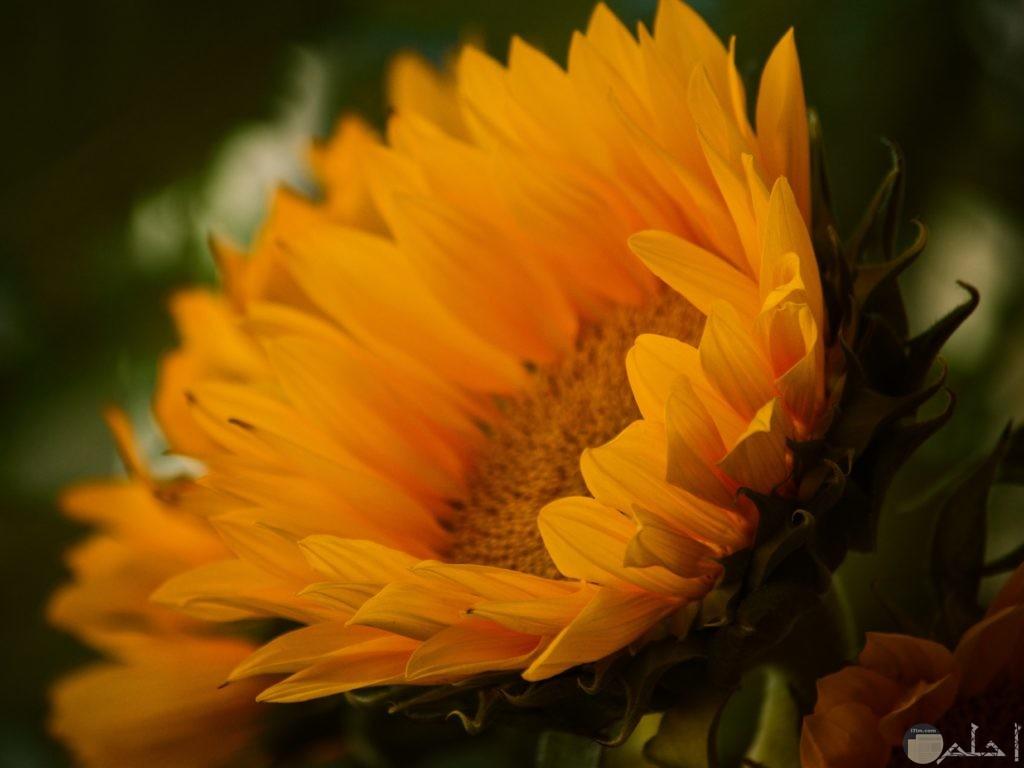 صور ورد hd باللون الأصفر