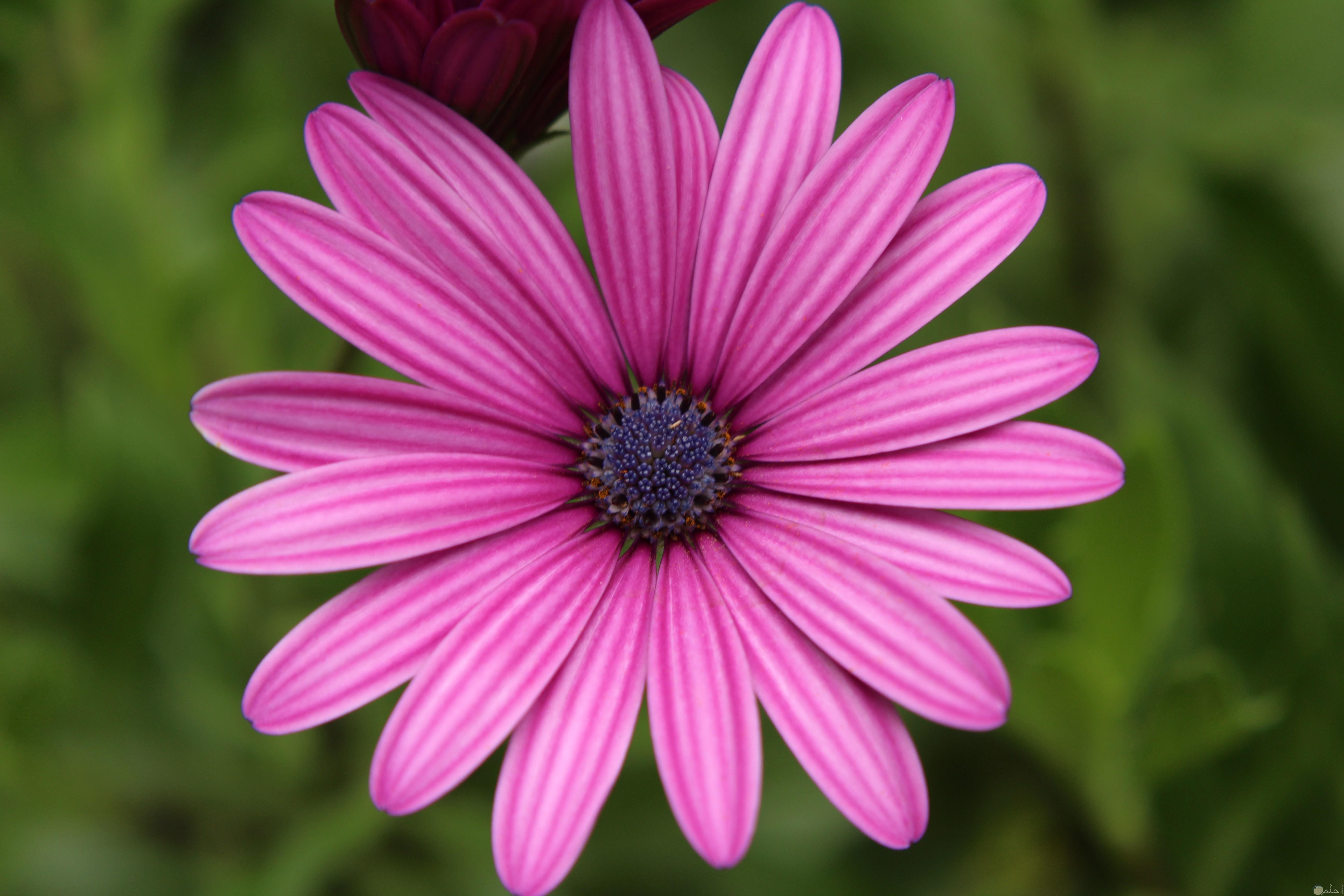 وردة تجنن بلون البمبي الوردى الجميل