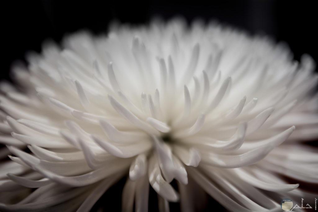 صور ورد hd بلون أبيض