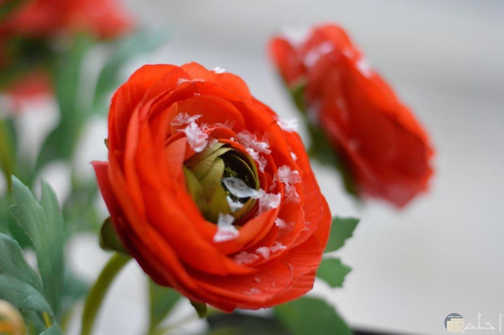 وردة حمراء مميزة