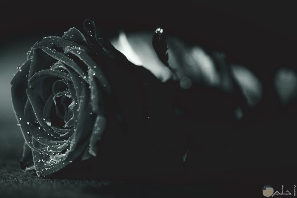 صورة وردة مميزة سوداء اللون