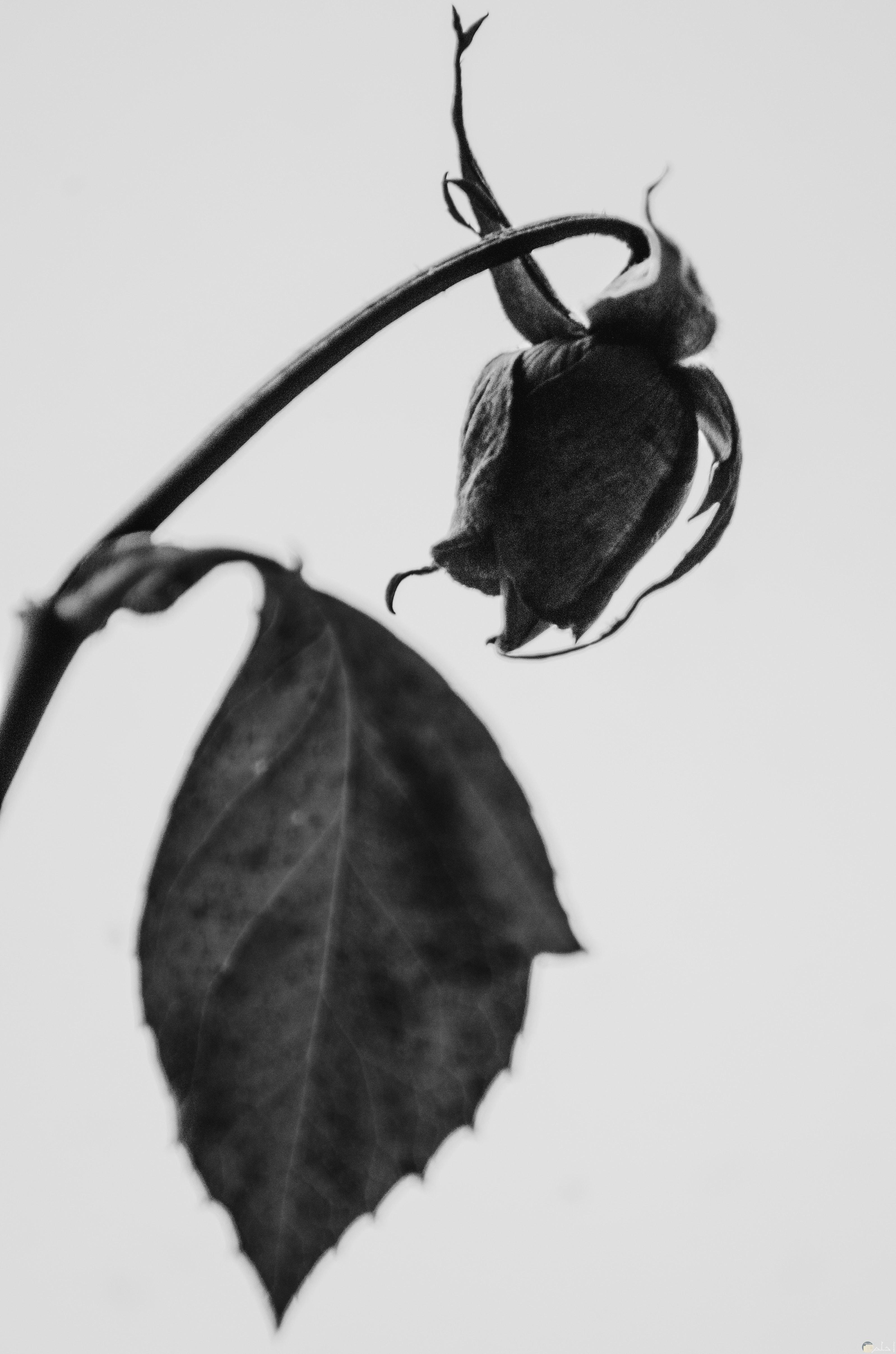 صورة وردة بالون الأسود